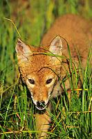 Coyote pup.  Western U.S., June.