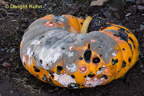 DC09-535z  A variety of fungi working together to rot a pumpkin, primarily Penicillium spp.