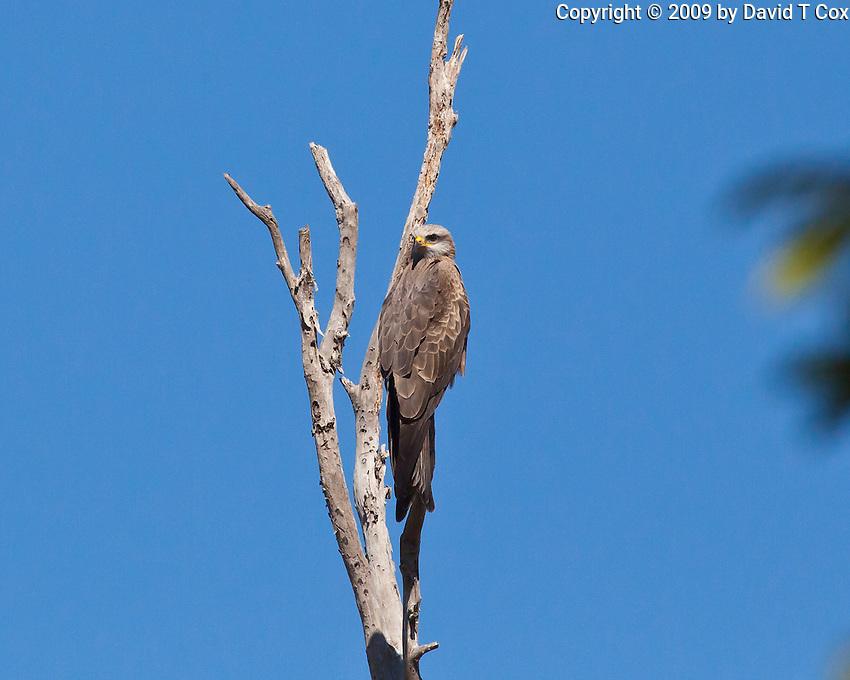 Black Kite, near Eungella NP, Queensland, Australia