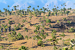 Palm savannah. Habitat of Komodo dragon or Komodo monitor (Varanus komodoensis). Rinca Island, Komodo National Park, Indonesia. Endangered.