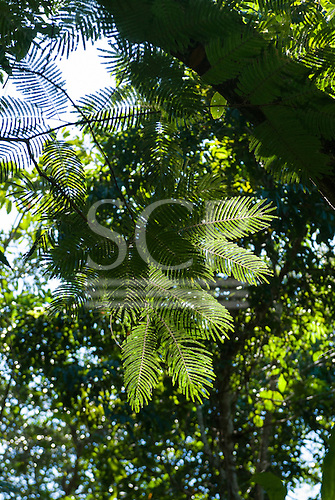 Mato Grosso State, Brazil. Aldeia Metuktire. Looking up through the canopy.
