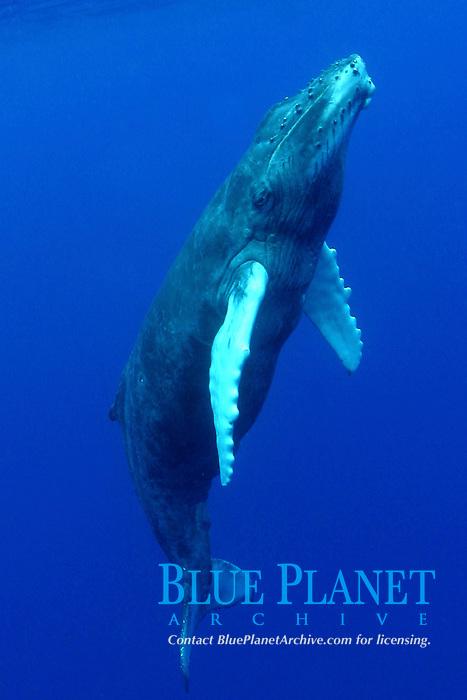 humpback whale calf, Megaptera novaeangliae, Hawaii, Pacific Ocean