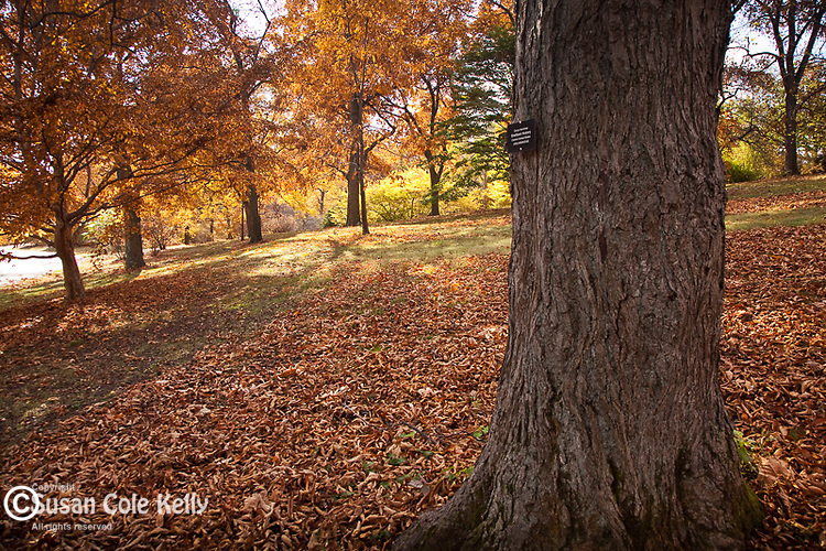 Hickory trees in the Arnold Arboretum, Boston, MA