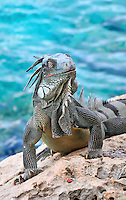 10 August 2009: The Green Iguana (Iguana iguana) is found throughout the island of Bonaire. Taken along the coral coastline at Captain Don's Habitat on the island of Bonaire, in the Netherlands Antilles. Mandatory Credit: Ed Wolfstein Photo