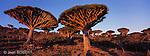 Dragonnier (dracanea cinnabari) sur le plateau de Diksam. Ile de Socotra. Yemen..Dragon's blood tree (dracanea cinnabari) on the Diksam plateau. Socotra island. Yemen