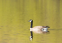 Canada Goose, Branta canadensis, swimming on Upper Klamath Lake, Oregon