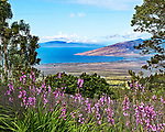 A view looking northwest from the Ali'i Lavender Farm in Kula, Maui. The Lavender Farm is located on the western slope of Mt. Haleakala at an elevation of 4,000 feet. In the distance are the West Maui Mountains, Ma'alaea Bay and the island of Lanai.