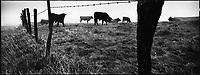 Europe/France/Auvergne/15/Cantal/Massif du Puy Mary: Vaches Salers  en paturage dans la montagne de la Font Sainte  prés de la Croix des buronniers - Parc Naturel Régional des Volcans d'Auvergne