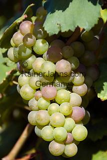 Germany, Baden-Wuerttemberg, Markgraefler Land, wine, grapes