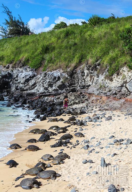 Hawaiian green sea turtles rest on the sand while a distant surfer walks on the rocky shore of Ho'okipa Beach Park, Maui.
