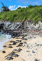 Hawaiian green sea turtles rest on the sand while a distant surfer walks on the rocky shore of Ho'okipa Beach Park, Maui.