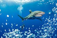 Scubazoo cameraman Jason Isley and oceanic whitetip shark, Carcharhinus longimanus, off the Kona Coast of Hawaii Island (the Big Island), Hawaiian Islands (Central Pacific Ocean)