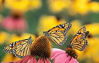 Monarch Butterflies (Danaus plexippus) feeding on Purple Coneflowers (Echinacea purpurea). North America.