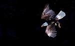 USA, Alaska, Glacier Bay National Park , bald eagle (Haliaeetus leucocephalus)