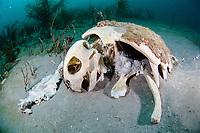 Loggerhead Turtle Carcass (Caretta caretta) in Palm Beach, FL.