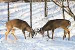 White-tailed deer sparring in winter