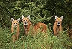 Maned wolves, Brazil, South America