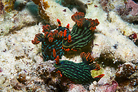 Slugs mating, Nembrotha kubaryana, Moalboal, Cebu, Philippines, Indo-Pacific Ocean