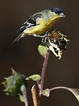 A male lesser goldfinch eats sunflower seeds in Gardnerville, Nev., on Thursday, Oct. 22, 2020. <br /> Photo by Cathleen Allison