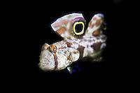 Twin Spot Goby (Signigobius biocellatus) in the Lembeh Strait posing