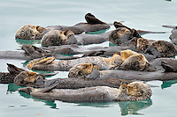 Alaskan or Northern Sea Otter (Enhydra lutris) raft.  Sea Otter often gather in groups in protected (from wind, current, tide, swells, waves) areas to rest.