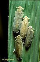 PH01-047c   Planthoppers on cord grass - salt marsh N.J. -  Prokelisia marginata