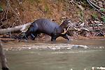 Giant Otter (Pteronura brasiliensis). Piquiri River, northern Pantanal, Brazil.