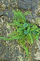 Brauner Streifenfarn, Braunstieliger Streifenfarn, Asplenium trichomanes, Maidenhair Spleenwort, Fausse-Capillaire