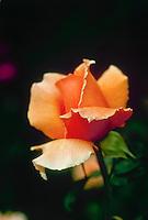 Orange rose bud opening close up