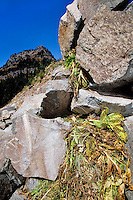 Pika bringing plants into its haypile for winter.  Subalpine rockpile, Pacific Northwest.  Sept.