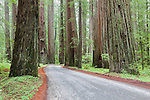 Fork in the Road, or The Road Less Traveled, You Take the High Road, trails diverge into the Redwoods in Humboldt Redwoods State Park along the Avenue of the Giants.  California, USA.  Represented by www.spacesimages.com