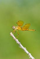 304570018v a wild male mexican amberwing perithemis intensa perches on a dead stick in yuma county arizona