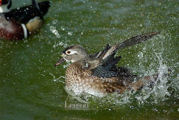 Wood Duck (Aix sponsa) hen bathing.  Pacific Northwest.