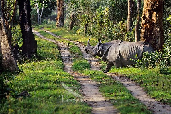Greater Indian Rhinoceros or Asian One-horned Rhinoceros (Rhinoceros unicornis), Kaziranga National Park, India.  Crossing primitive road in Park.