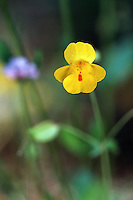 A Monkeyflower blossom. Oregon.