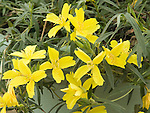 Evening Primrose, Oenothera Lemon Drop