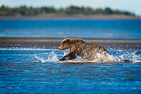 Brown Bear closes the distance on a salmon in the shallows of The Cook Inlet at low tide.  Lake Clark National Park, Alaska.