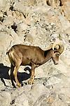 BIGHORN SHEEP, RAM, OVIS CANADENSIS