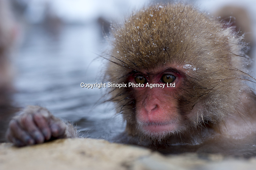 A baby Snow Monkey relaxes in a a hot spring in a valley known as Hell's Valley, north of Nagano city, Nagano Prefecture Japan. The Japanese Snow Monkeys live in the icy Japanese highlands, farther north than any other monkey in the world. With their double layer of thick fur, that resembles a furry hooded top on the younger members, they are able to withstand temperatures as low as of minus 15 degrees centigrade.   According to an official at the wild-life park, the bathing ritual of the Snow Monkey's did not begin until 1964, when a young monkey jumped into the hot pool chasing chestnuts, liked the feel, and stayed to bathe.  Many other youngsters followed and were soon followed by the adults.  With the freezing winter the naturally heated bathes were soon adopted as part of monkey life.  The Japanese Macaque is an extremely intelligent animal that has adapted to it's surroundings all over the country. While the Snow Monkeys bathe in the hot springs, other macaques are know to use salt water to flavor roots and others have learned to separate grain from mud by mixing it with water. .