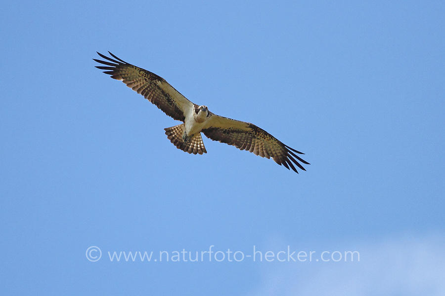 Fischadler, Fisch-Adler, Adler, im Flug, Flugbild, beringt, Pandion haliaetus, osprey