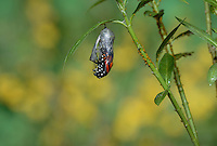 Monarch (Danaus plexippus), butterfly emerging from chrysalis on Tropical milkweed (Asclepias curassavica), series, Hill Country, Texas, USA