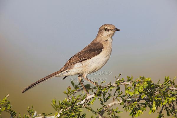 Northern Mockingbird (Mimus polyglottos),adult perched,Starr County, Rio Grande Valley, Texas, USA