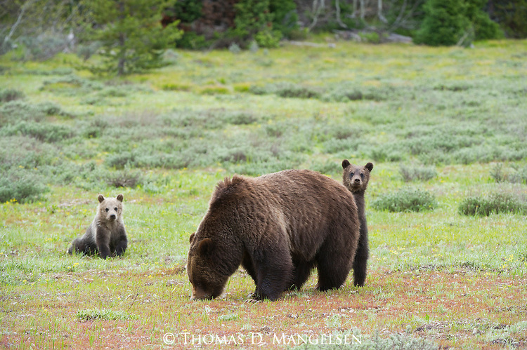 Cubs stay close by their mother (399) in a green meadow in Grand Teton National Park, Wyoming.