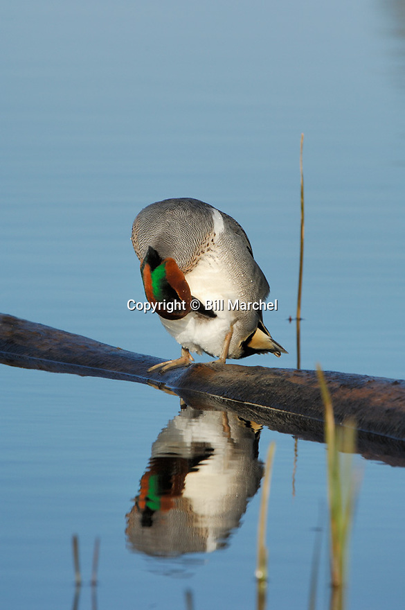 00310-016.01 Green-winged Teal Duck (DIGITAL) is preening while perched on a log over water and showing reflection.  V3F1