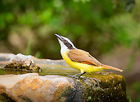 Great Kiskadee perched on a rock with water
