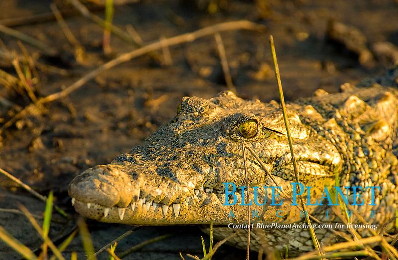 African Crocodile - Crocodylus niloticu