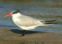 Adult Caspian tern in non-breeding plumage