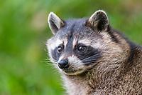 Raccoon (Procyon lotor), captive, Saarland, Germany, Europe
