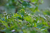 Eingriffliger Weißdorn, Eingriffeliger Weißdorn, Weissdorn, Weiß-Dorn, Weiss-Dorn, Hagedorn, Crataegus monogyna, hawthorn, common hawthorn, oneseed hawthorn, single-seeded hawthorn, English Hawthorn, May, L'Aubépine monogyne, L'Aubépine à un style, Knospen, Blütenknospen, Knospe, Blütenknospe