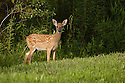 00275-190.12 White-tailed Deer (DIGITAL) fawn is on edge of food plot in late summer.  H3R